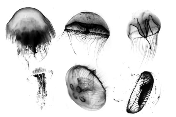 PS笔刷下载  海洋中的水母图像笔刷