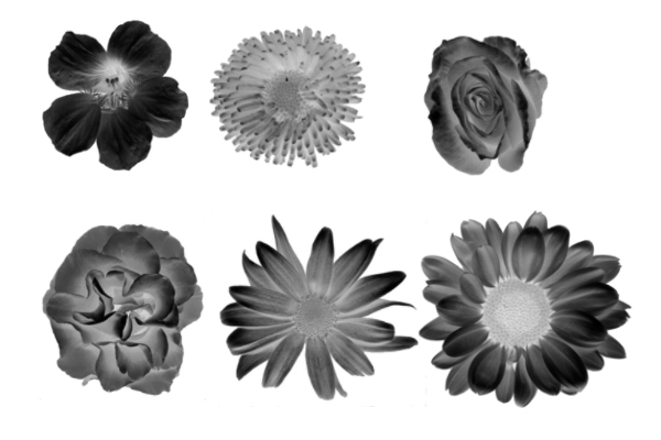 PS笔刷下载  鲜花、花朵图案笔刷