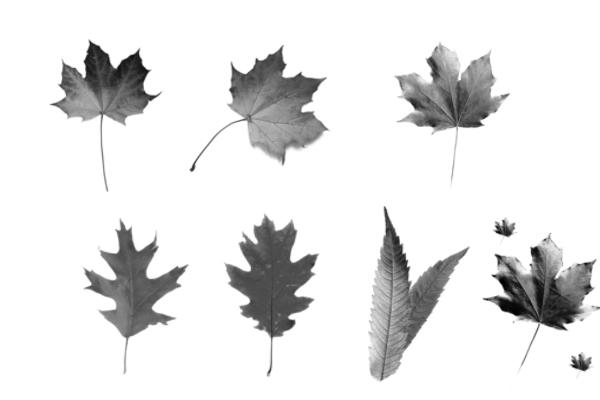 PS笔刷下载  树叶、枫叶、梧桐叶子笔刷