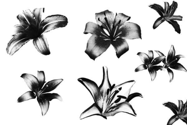 盛开的百合花朵图案PS笔刷