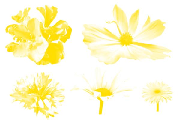 盛开的向日葵花朵、向日葵花束PS笔刷