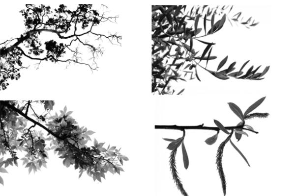 树杈、树丛、大树PS笔刷